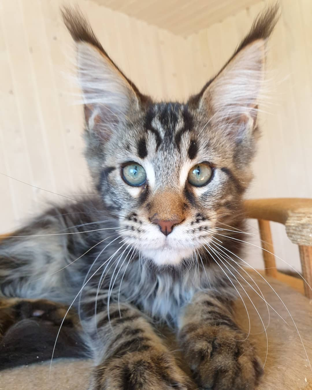purebred maine coon cat
