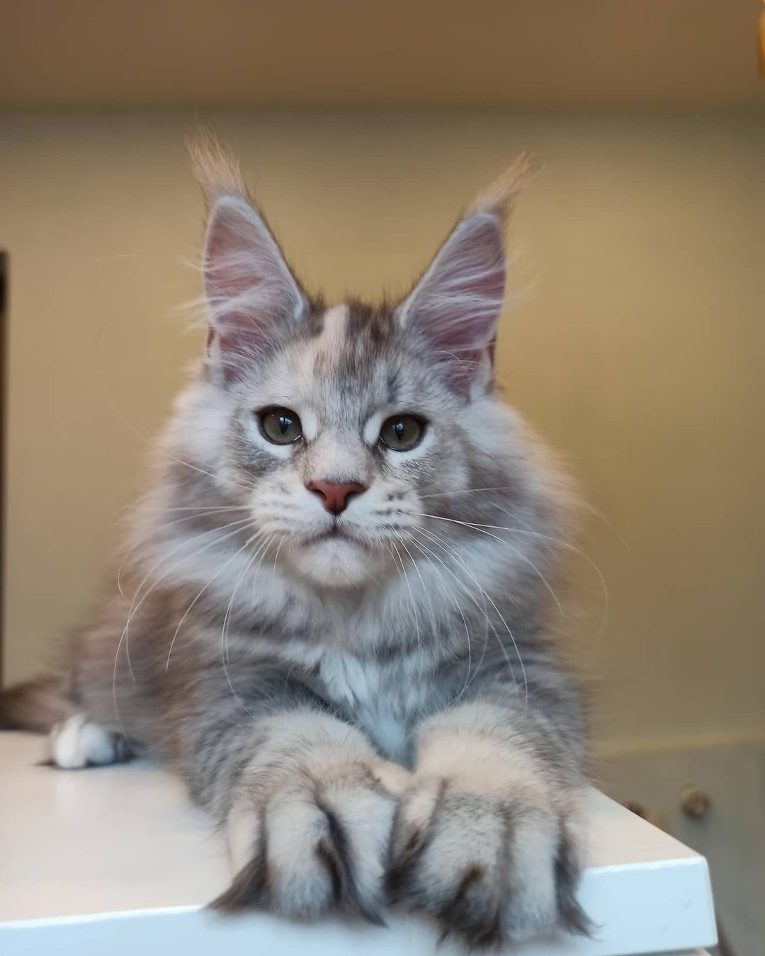 maine coon kittens available